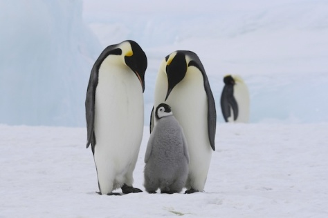 Wonder-118-Emperor-Penguin-Static-Image2